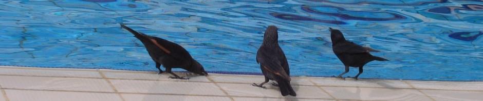 הטריסטרמיות צולמו על ידי אילה טייכמן על שפת הבריכה באחד ממלונות ים המלח